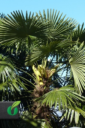 phoenix canariensis kanarische dattelpalme tropical seeds. Black Bedroom Furniture Sets. Home Design Ideas