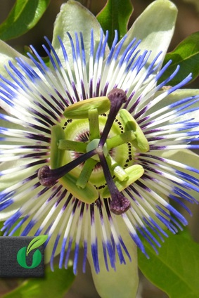 passiflora caerulea blaue passionsblume tropical seeds. Black Bedroom Furniture Sets. Home Design Ideas
